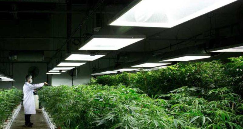 A cannabis cultivator spraying rows of marijuana plants in a grow house.